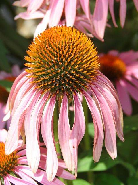 Coneflower, Pink, Bloom, Flower, Plant, Purple
