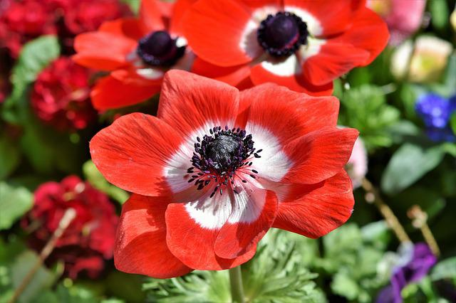 Poppy, Mohngewaechs, Blossom, Bloom, Color, Red, Flower