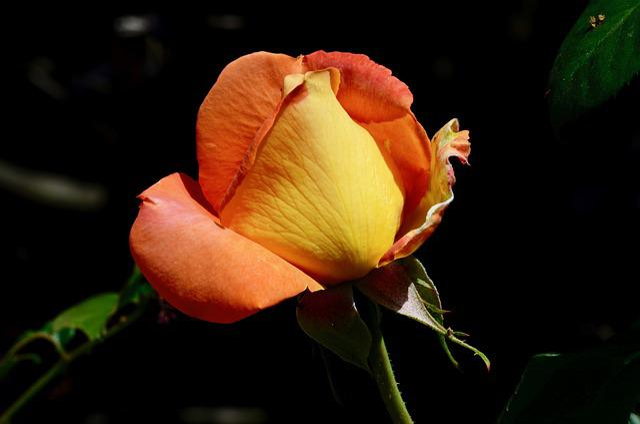 Rose, Blossom, Bloom, Close, Red Rose, Flower, Garden