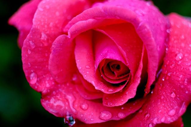 Rose, Blossom, Bloom, Flower, Rose Blooms, Pink Rose