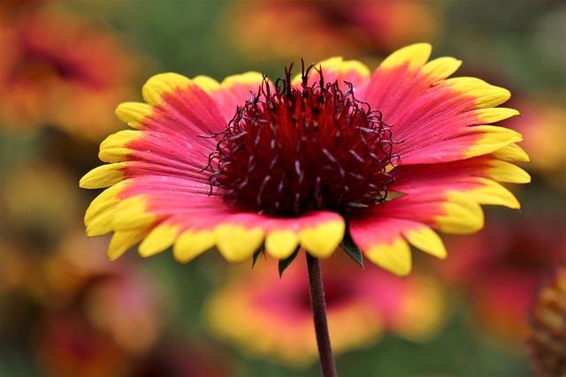 Rudbeckia, Flower, Blanket Flower, Petals, Bloom