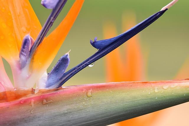 Strelizie, Flower, Blossom, Bloom, Plant, Leaf, Green