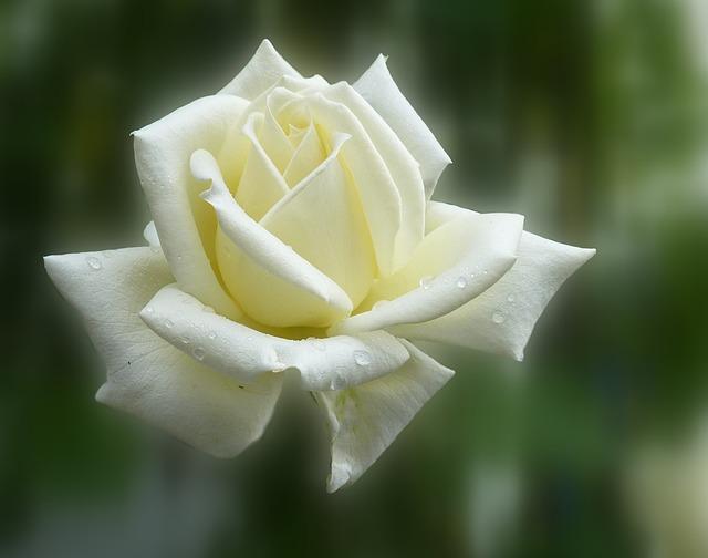 Rose, Summer, Blossom, Bloom, Flower, Flowers