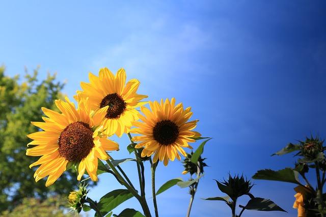 Flower, Sunflower, Bloom