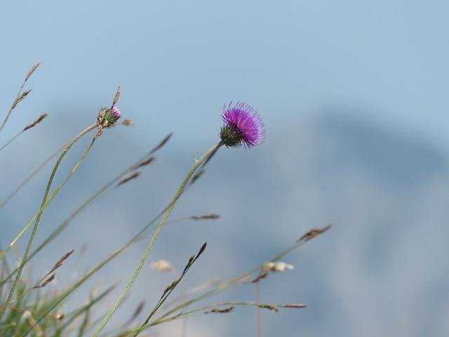 Alpine Thistle, Thistle, Blossom, Bloom, Flower, Purple