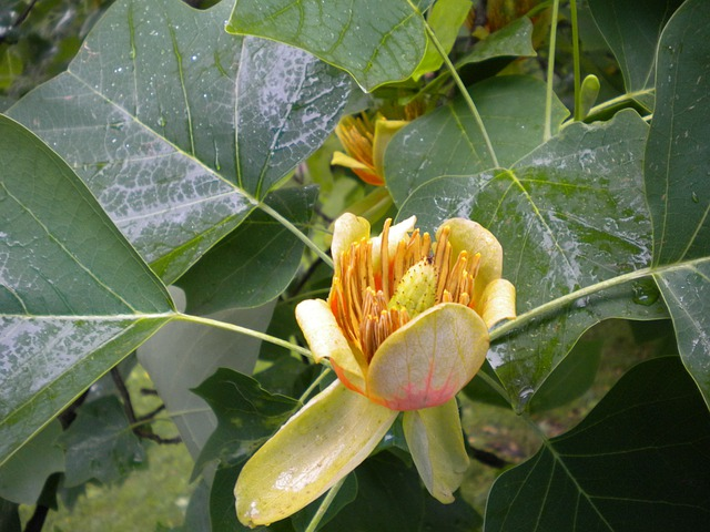 Flower, Blossom, Bloom, Plant, Tulip Tree, Tree