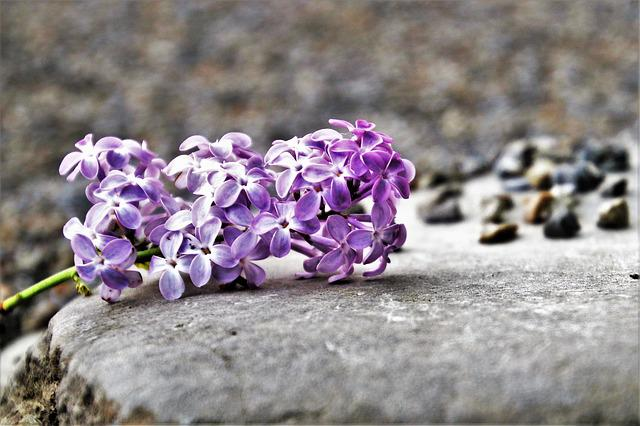 Lilac, Flower, Nature, Plant, Blooming, Season