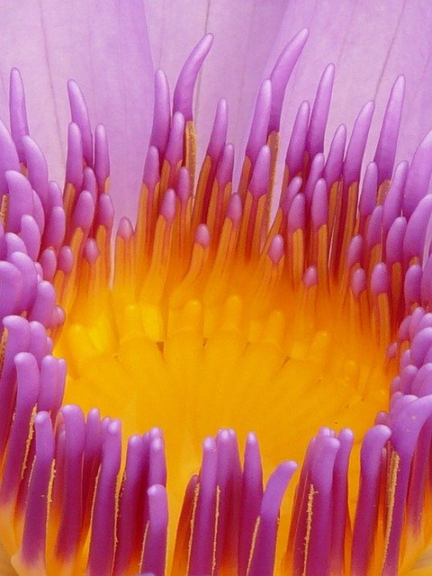 Water Lily, Blossom, Bloom, Purple, Flower