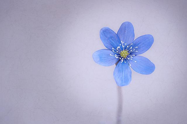 Hepatica, Flower, Blossom, Bloom, Blue, Spring Flower