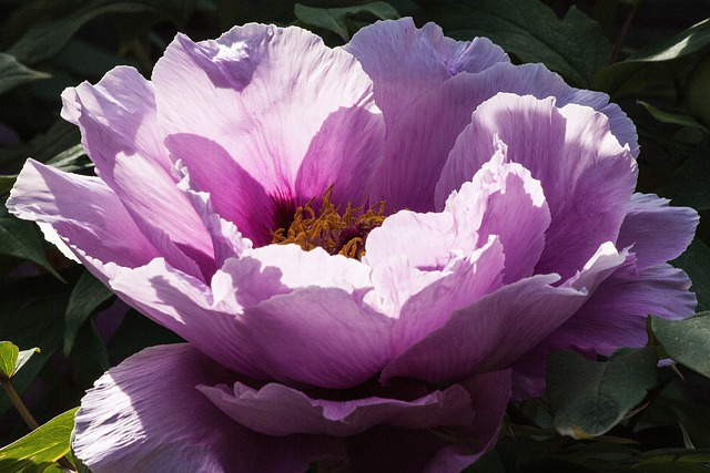Peony, Flower, Nature, Flora, Spring, Blossom, Bloom