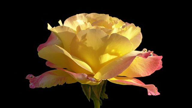 Rose, Floribunda, Noble Rose Jubiliee, Flower, Blossom