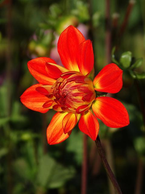 Dahlia, Flower, Flower Blossom, Red, Yellow, Flower Bud