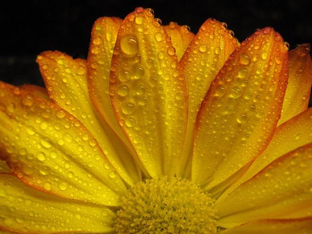 Gerbera Daisy, Daisy, Flower, Blossom, Nature, Floral