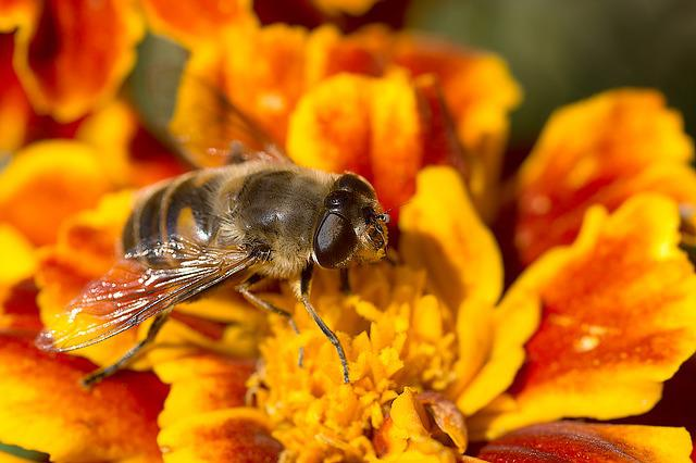 Marigold, Flower, Mist Bee, Insect, Hoverfly, Blossom