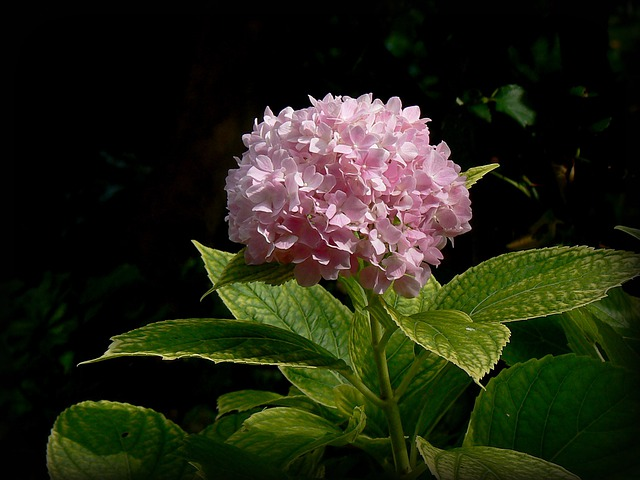 Hortensia, Hydrangea, Flower, Pink, Garden, Blossom