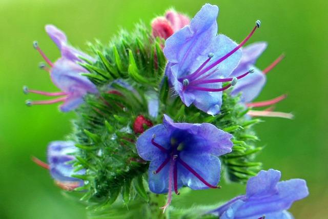 Ordinary Natternkopf, Flower, Snake Head, Blossom