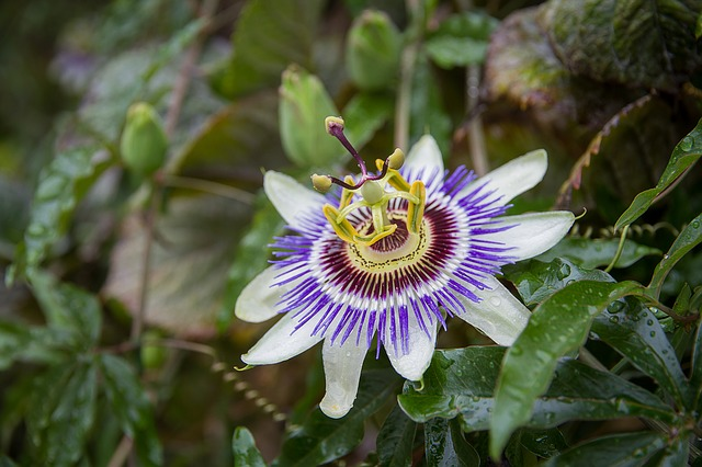 Passion Flower, Flower, Blossom, Bloom, Plant, Nature