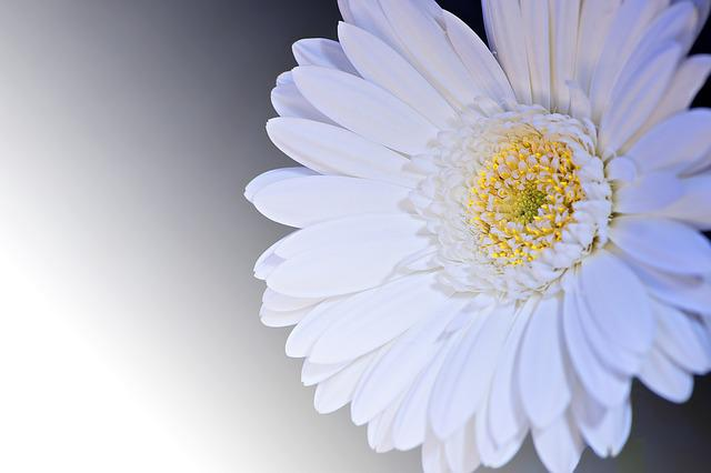 Gerbera, Flower, Blossom, Bloom, Petals, White
