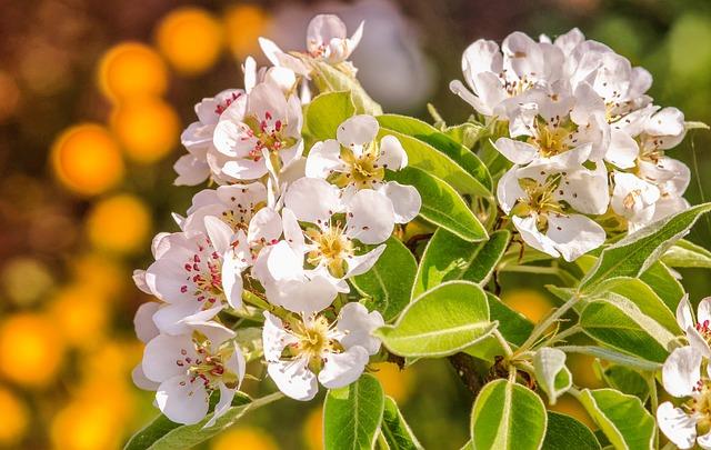 Flower, Plant, Nature, Leaf, Floral, Pear, Blossom