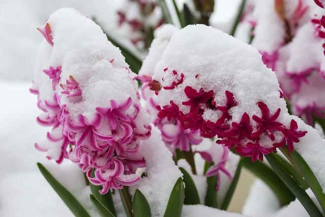 Hyacinth, Blossom, Bloom, Flower, Snow, Spring, Snowy