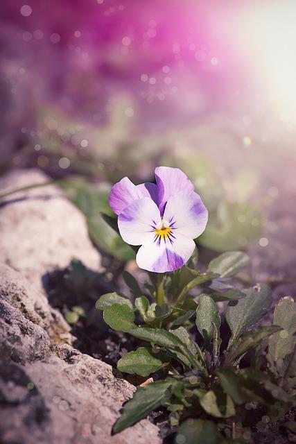 Violet, Pansy, Blossom, Bloom, Spring, Flower, Viola