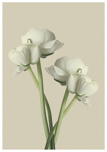 Ranunculus, White, Flower, Blossom, Bloom
