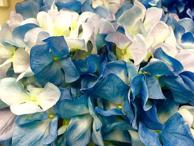 Hydrangea, Blue, White, Flower, Bloom, Blossom, Plant