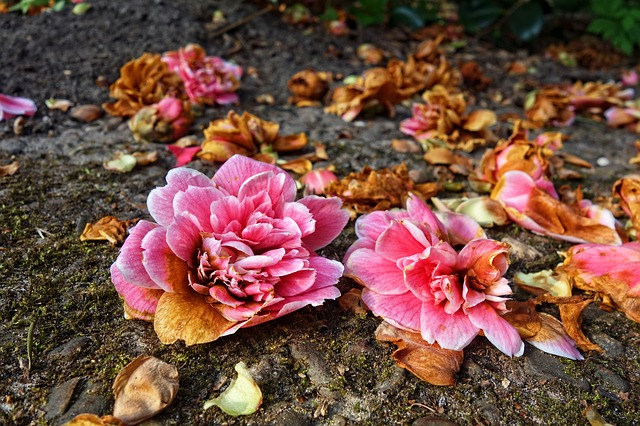 Rhododendron, Flower, Shrub, Blossoms, Fallen, Wilted
