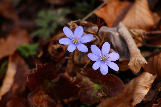 Liverleaf, Blue, Spring, Forest, Flower, Leaf, Brown