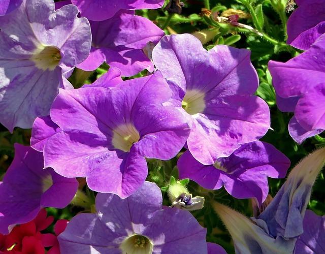 Petunia, Solanaceae, Flower, Violet, Purple, Botany