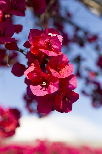 Bougainvillea, Patios De Córdoba, Flower
