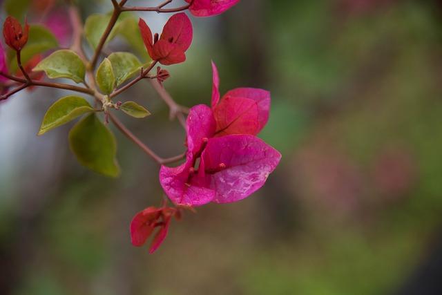 Flower, Bougainvillea, Spring