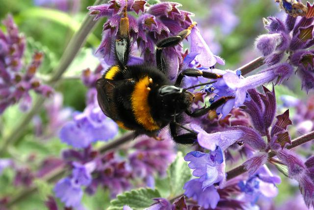 Bug, Bumblebee, Flower, Pollination, Pollen, Blossom
