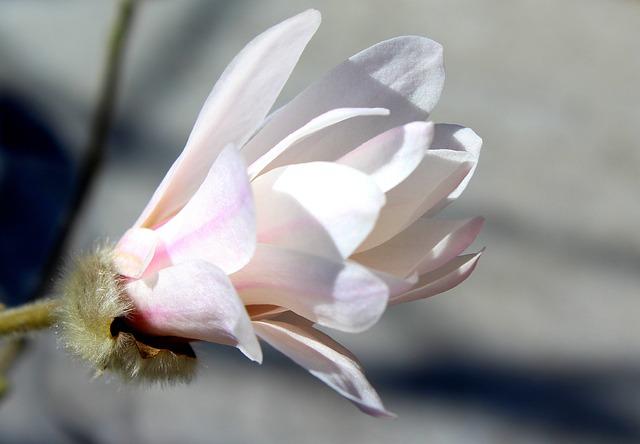 Magnolia, Flower, White Flower, Bush, Tree, Spring