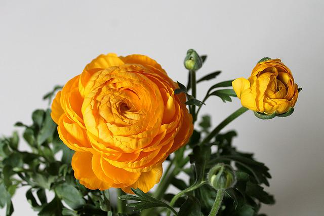 Buttercup, Flower, Beautiful, Yellow, Plant, Flowers
