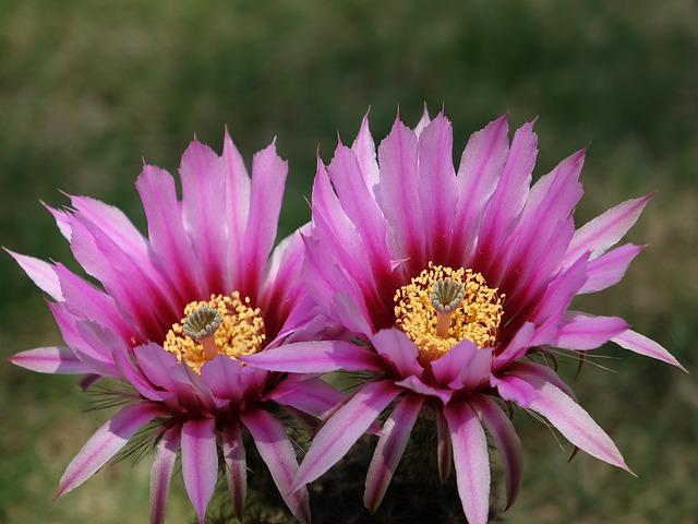 Cactus Flower, Flower, Plant, Flowering