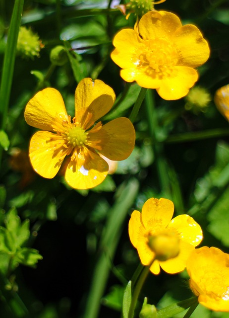 Caltha Palustris, Dotterblume, Flower, Yellow