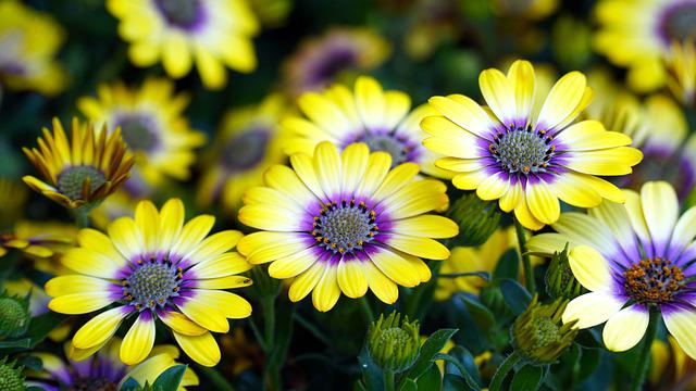 Cape Basket, Flower, Osteospermum, Blossom, Bloom