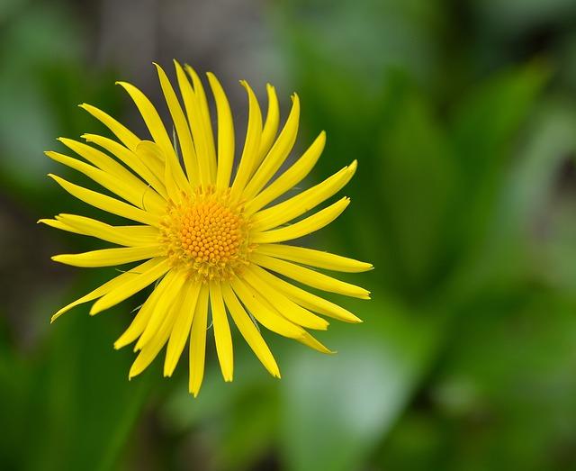 Caucasus Gemswurz, Gämswurz, Flower, Plant, Blossom