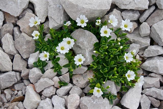 Cerastium, Mouse-ear Chickweed, Flower, Alpine
