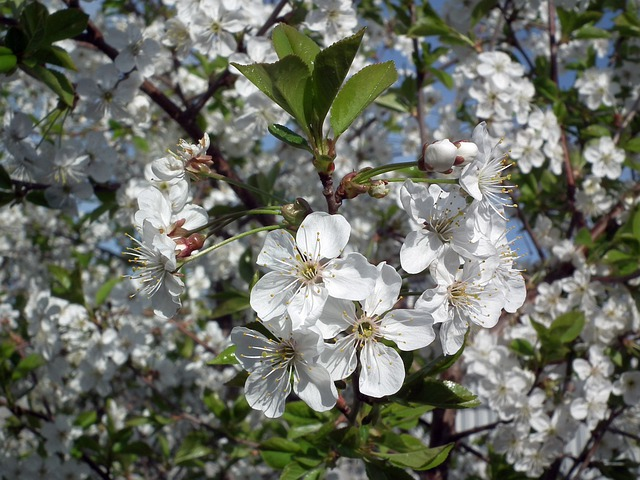 Flower, Cherry, The Leaves Of The Branch, Spring, White