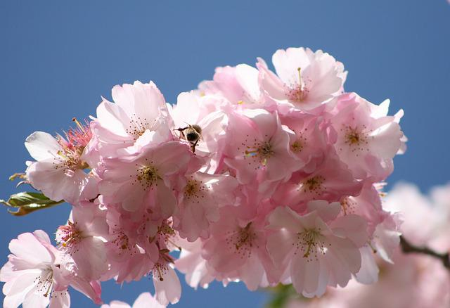 Flower, Plant, Cherry Wood, Nature, Branch, Flowers
