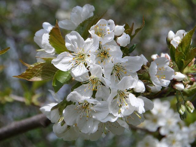 Tree, Flower, Cherry Wood, Branch, Plant, Nature