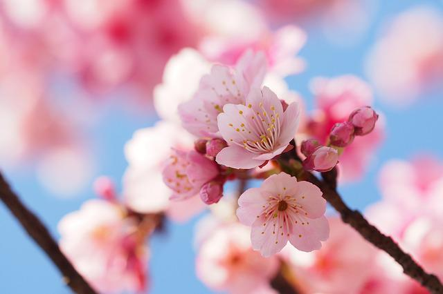 Cherry Wood, Branch, Flower, Nature, Tree, Spring
