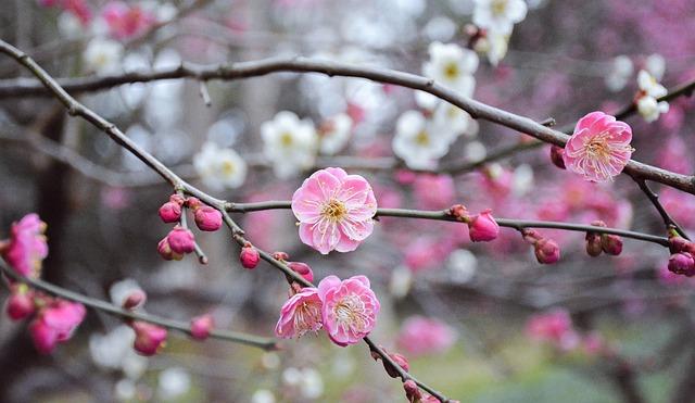 Flower, Branch, Cherry Wood, Tree