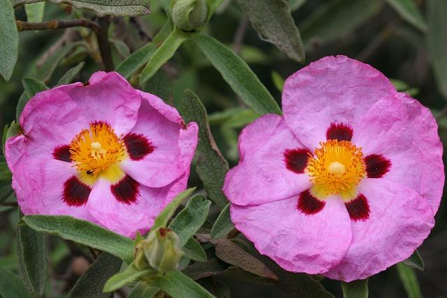 Cistus, Pink, Flower