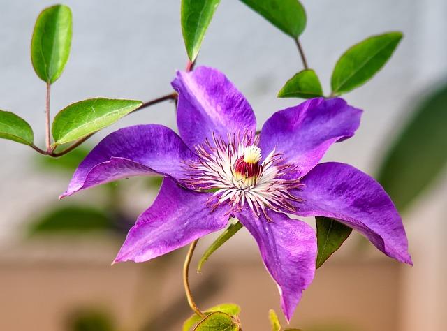 Flower, Plant, Nature, Leaf, Garden, Clematis, Purple
