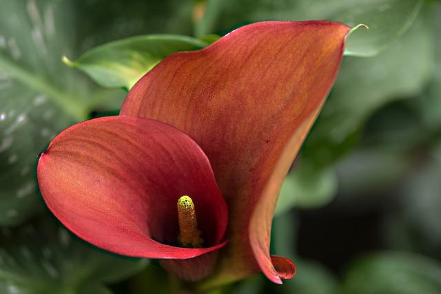 Anthurium, Flower, Flamingo Flower, Close