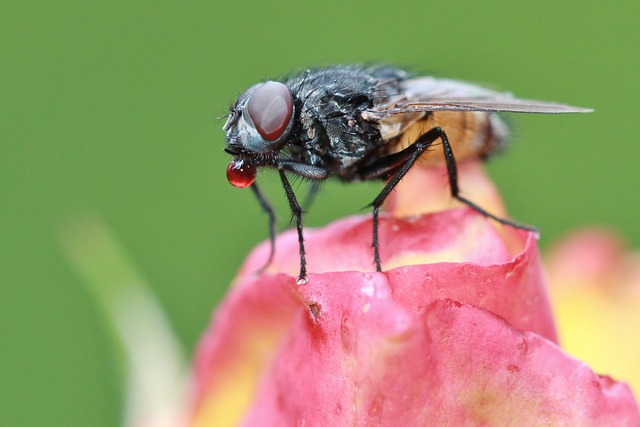 Fly, Insect, Animal, Close Up, Fauna, Flower