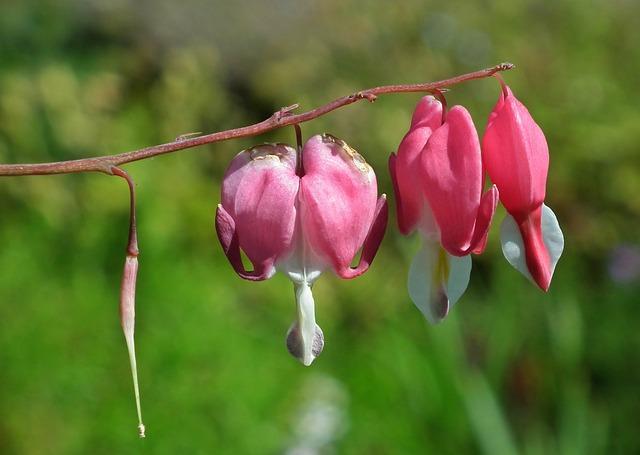 Nature, Flower, Hearts, Pink, Garden, Closeup
